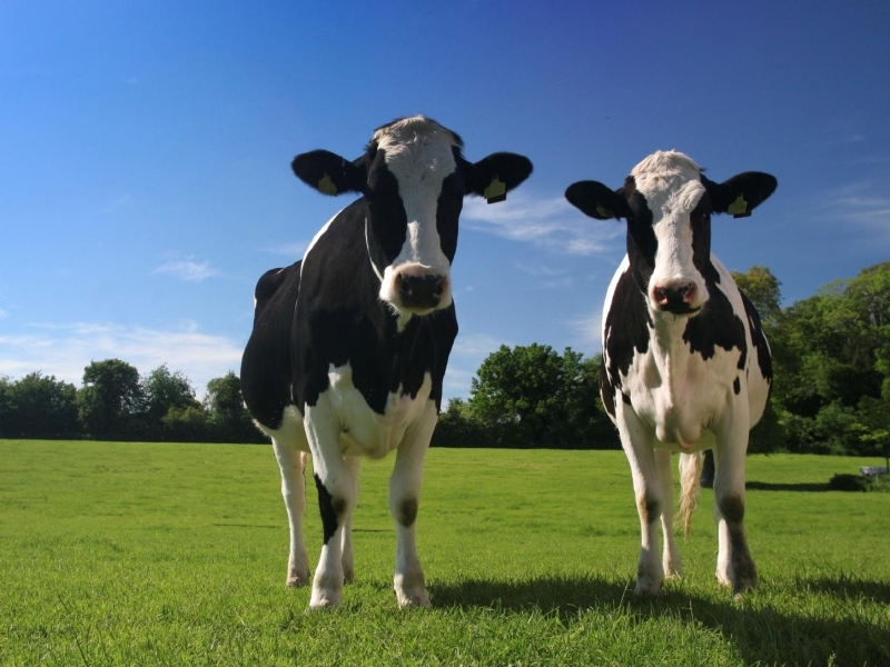 organic-dairy-cows